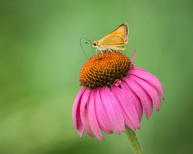 Skipper Moth, Moth, Purple Coneflower, Cone, Flower, Butterfly