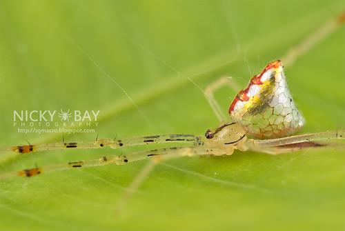 Mirror Spider (Thwaitesia sp.) - DSC_9967