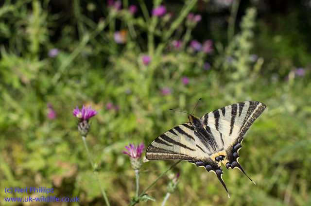 scarce swallowtaill butterfly wide angle 2
