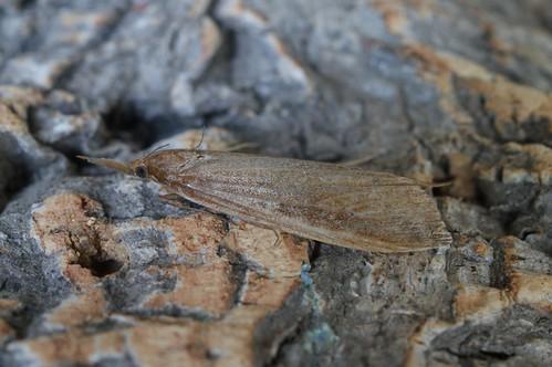 Schoenobius gigantella - female
