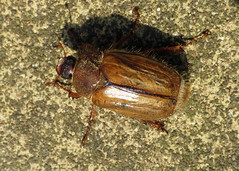 Summer Chafer - Amphimallon solstitiale