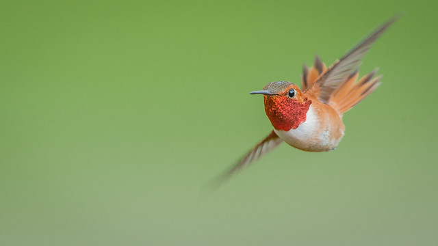 Ed Post - Rufous Hummingbird (Selasphorus rufus)