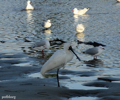 Birds at Little Lake Warilla....Lake Elliott