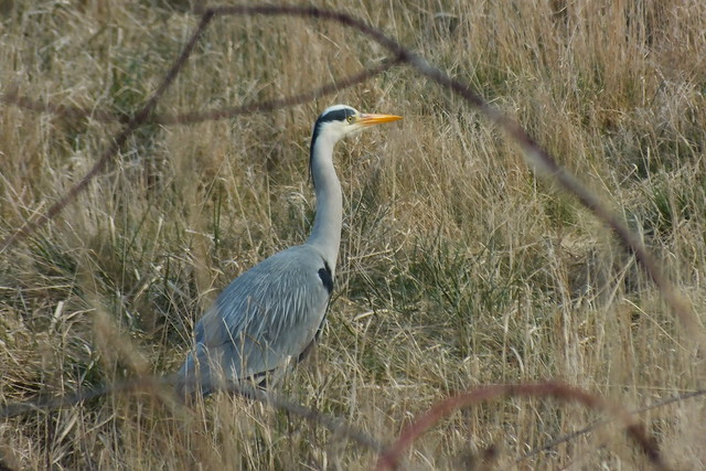 Scottish Heron