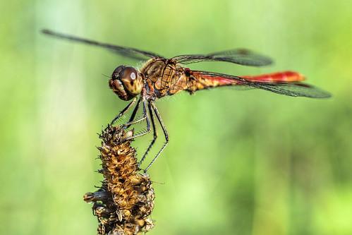 Vagrant darter dragonfly (1)