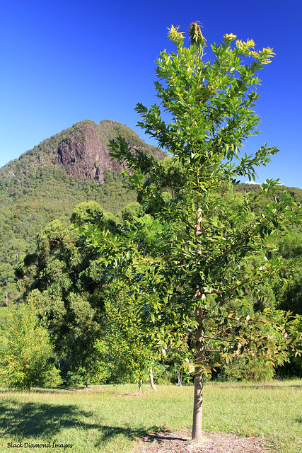 Agathis robusta - Queensland Kauri With Mt Cockscomb, Upper Lansdowne in the Background
