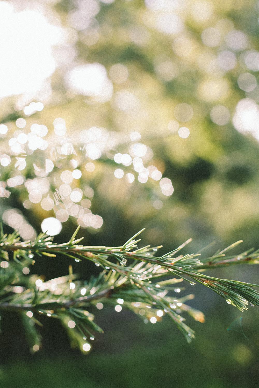 pine_6_web