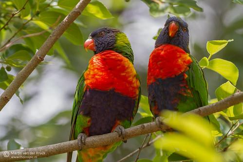 birds wildlife vogels lorikeet australia queensland lorie papegaai wildlifeimages canoneos7d canonef300mmf40lisusm thornspic thornspicnl martinvanderkruijkphotography