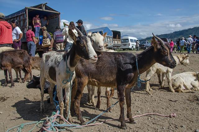 Goats - Otavalo Animal Market in Ecuador