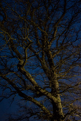 Tree by Night