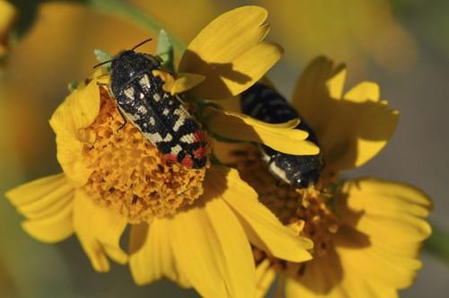 Acmaeodera sp.