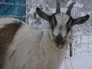 mari eating hay