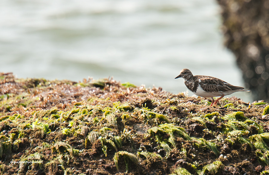 Ruddy-turnstone