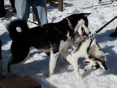 animal, west siberian laika, dog, siberian husky, snow, pet, karelian bear dog, mammal, east siberian laika, greenland dog, alaskan malamute, sled dog,