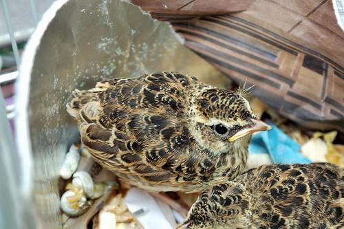 小雲雀幼鳥也送來了。(圖片來源:台北鳥會)