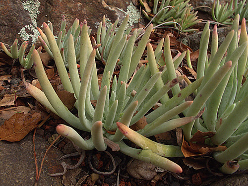 H20140227-0544—Dudleya virens ssp hassei—RPBG by John Rusk