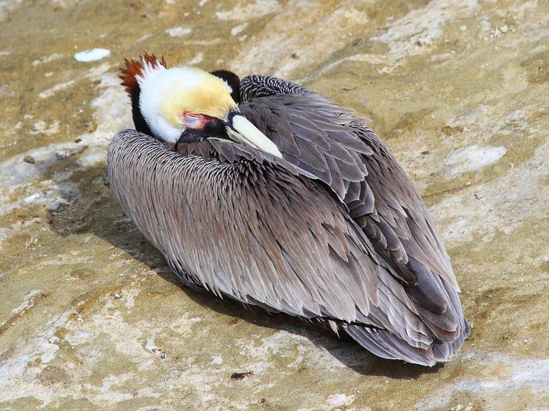IMG_9834 California Brown Pelican Eye Closed