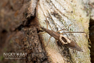 Assassin Bug (Reduviidae) - DSC_5774