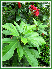 Jatropha integerrima (Spicy Jatropha, Firecracker, Peregrina) with scarlet-red flowers, Jan. 16 2014