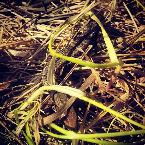 My first common #lizard :)
