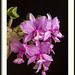 Cattleya nobilior por J. Amorin