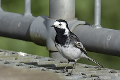 HolderPied Wagtail