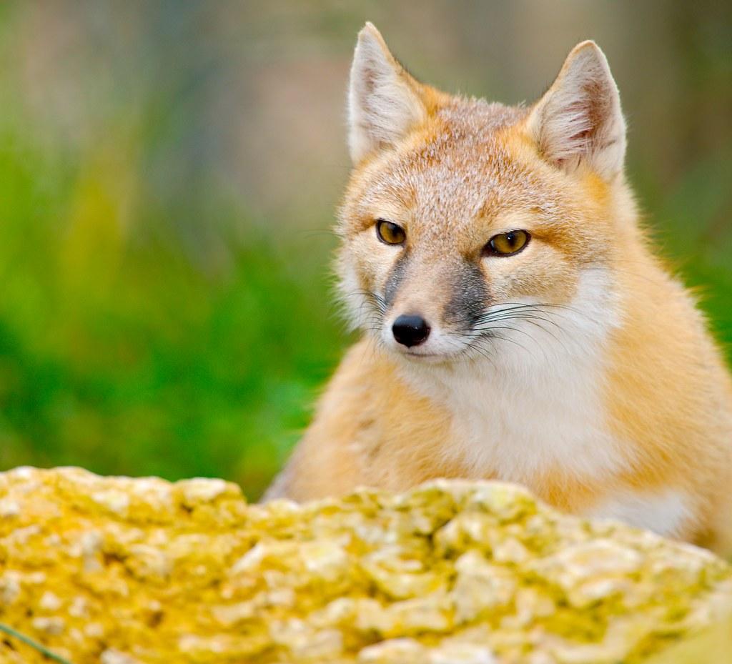 Swift Fox_15