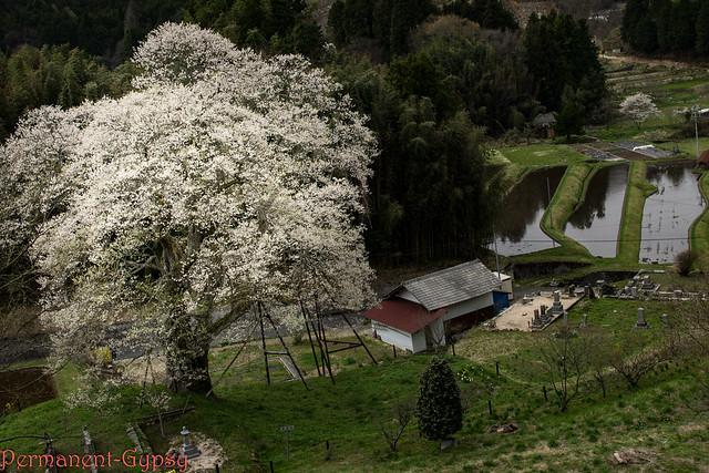Old weeping cherry tree, Sony NEX-5, Sigma 19mm F2.8 [EX] DN