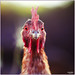 Chicken eyes by Damaz Real Fantasy