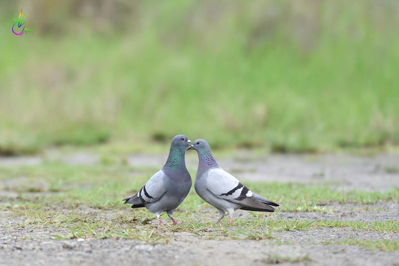 Pigeon_1884