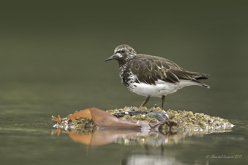 Black Turnstone in Summer Plumage