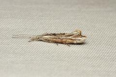Ypsolopha falciferella - Hodges # 2380