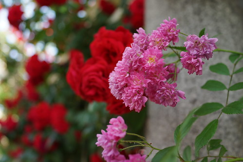 Roses at Osaka, Japan