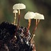Small photo of Marasmius rotula