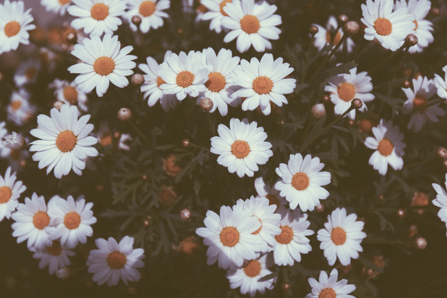 403 Forbidden Vintage Daisy Wallpaper