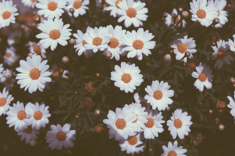 Wild Daisies | Flickr - Photo Sharing!