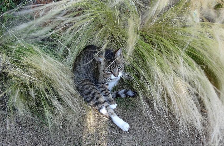 tabby-in-grass-m