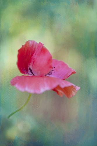 Textured Poppy~ by conniee4 aka Connie Etter