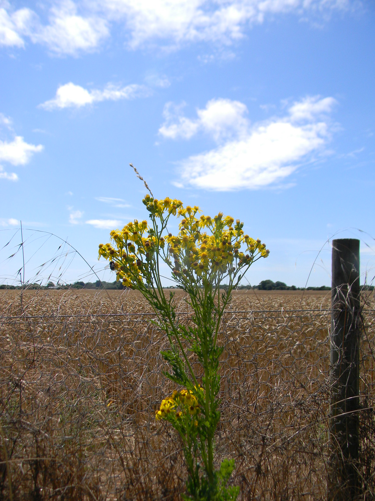 Ragwort Southbourne to Chichester
