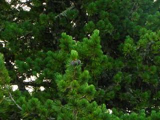 Pinus cembra=Pin cembro ou arolle (1)