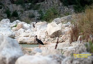 cicogna nera avvistata gravine di castellaneta