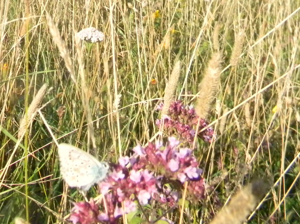 Blue butterfly on marjoram Uckfield to Lewes