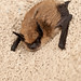California Myotis - Photo (c) Frank Carey, some rights reserved (CC BY-NC-SA)