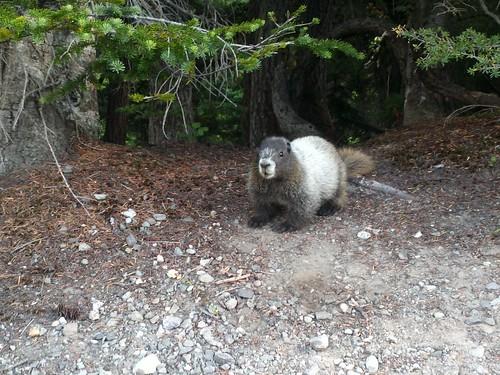 marmot!!!