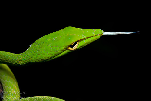 Oriental Whip Snake (<i>Ahaetulla prasina</i>) IMG_0278 copy