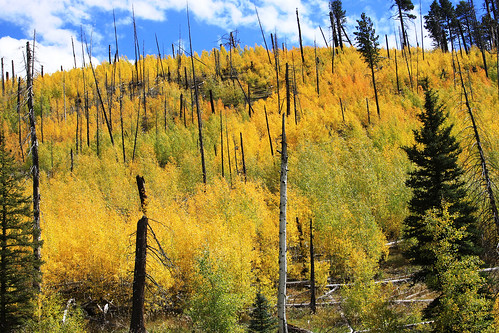 aspens in the outlet fire-1a by Kaibab National Forest