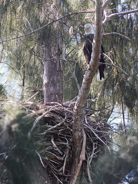 Bald Eagle female at nest 20131015