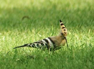 Härfågel / Hoopoe