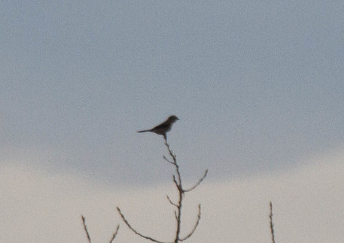 Way Distant Shrike