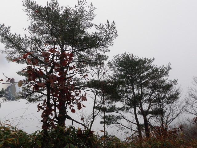 アカマツも,場所によって枝の張り方が違っていると教えていただく.